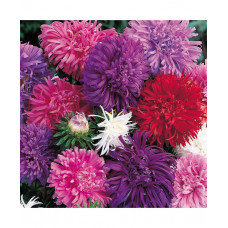Aster Ostrich Plume Mixed