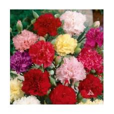 Carnation Giant Chaubad Mixed