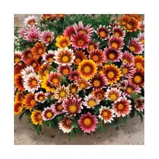 Gazania Sunshine Hybrida Mixed