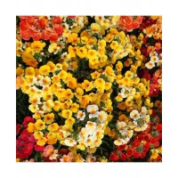 Nemesia Giant Carnival Mixed