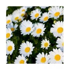 Chrysanthemum Paludosom White