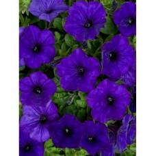 Petunia Royal Blue