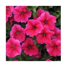 Petunia Rose of Heavens Pink
