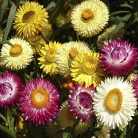 Strawflower - Helichrysum Songs Mixed