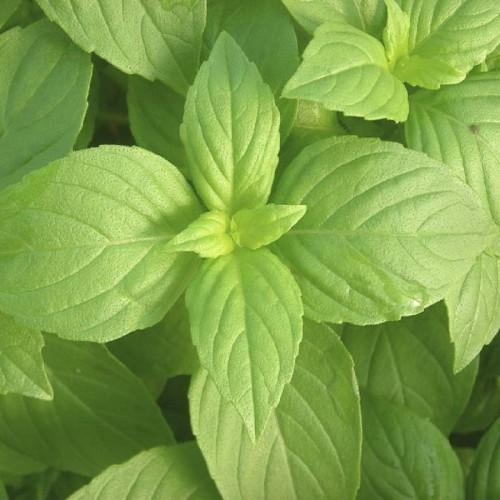 Buy lemon basil seeds online in india for Buy lemon seeds online