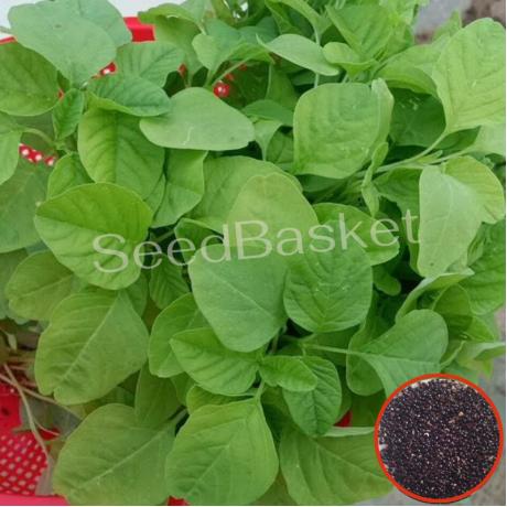 Amaranth Green(Thotakura) (800 Seeds)