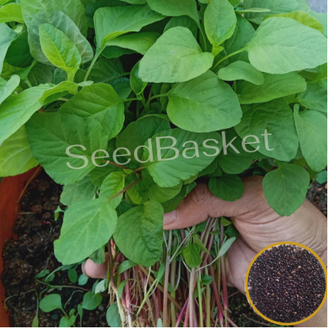 Amaranth Red(Koya Thotakura) (800 Seeds)