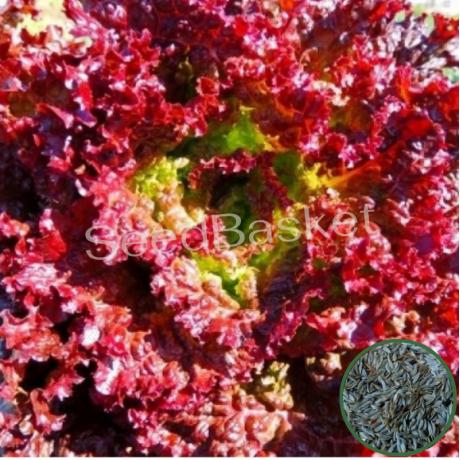 Microgreen Lettuce Lollo Rossa Seeds(1000 seeds)