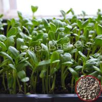 Microgreen Palak Seeds(20 Grms)