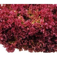 Lettuce Lollo Rosso Seeds (60 Seeds)
