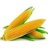 Indian Corn/Maize (20 seeds)