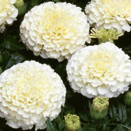 Marigold White African (20 Seeds)