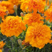 Marigold French Orange (100 Seeds)