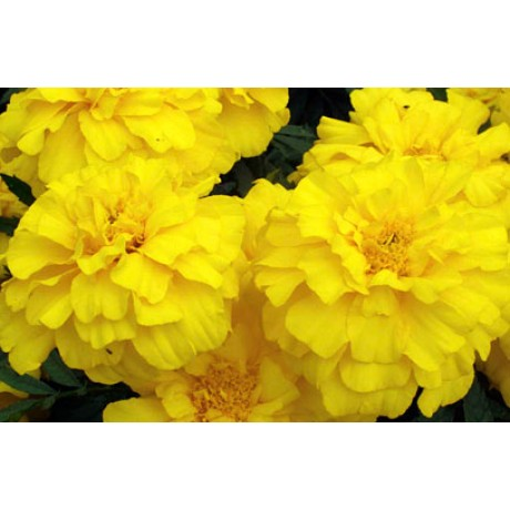 Marigold French Yellow (50 seeds)