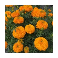 Marigold Orange African-(20 Seeds)