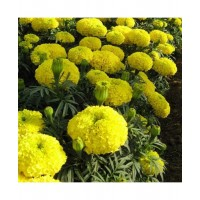 Marigold Yellow African (50 Seeds)