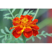 French Marigold Red