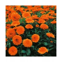 Calendula Extra Double Orange
