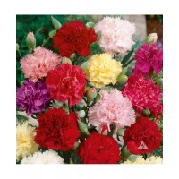 Carnation Giant Chaubad Mixed