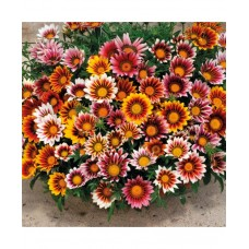 Gazania Sunshine Hybrida Mixed