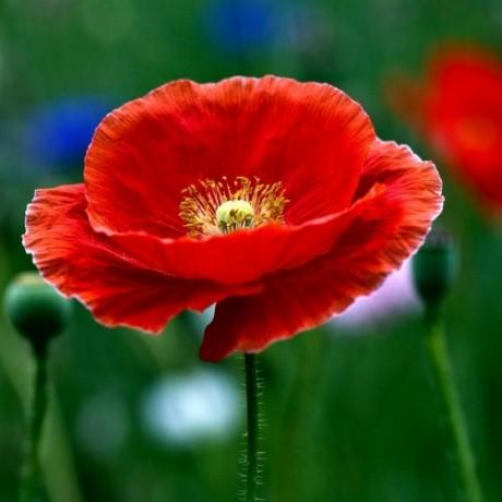Indian Poppy- Papaver rhoeas