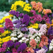 Limonium Pacific Mix(Statice)