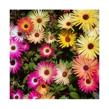 Mesembryanthemum Heavenens Mixed