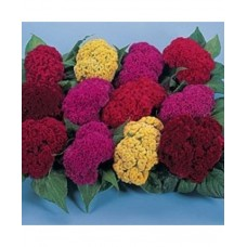 Celosia Cockscomb Dwarf Mixed(100 Seeds)