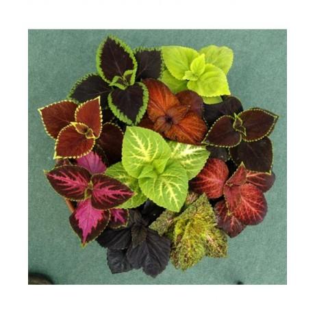 Coleus Rainbow Mixed (100 seeds)
