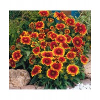 Gaillardia Aristata Mixed (100 Seeds)