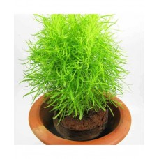 Kochia Fire Bush (100 Seeds)