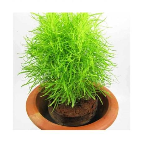 Kochia Fire Bush (100 Seeds)