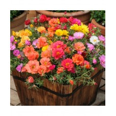 Portulaca Double Mixed (300 Seeds)