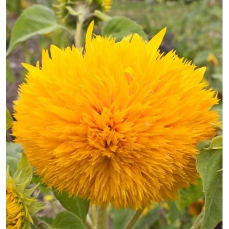 Sunflower Hellianthus Teddy Bear (40 Seeds)