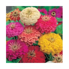 Zinnia Dahlia Flowered Mixed (100 Seeds)