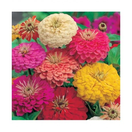 Zinnia Dahlia Flowered Mixed (50 Seeds)
