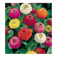 Zinnia Liliput Mixed