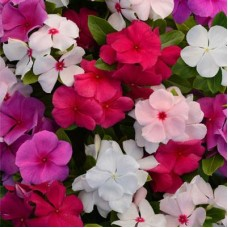 Vinca Dwarf Mix Flower Seeds