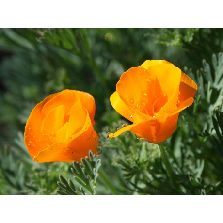 California Poppy (50 Seeds)