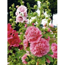 Hollyhocks double dwarf (50 Seeds)