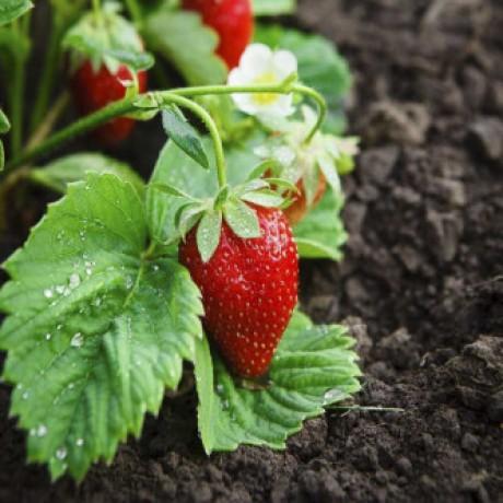 Alpine Strawberry (50 Seeds)
