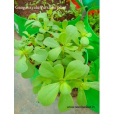 Gangavalli/Purslane leaves(800 seeds)
