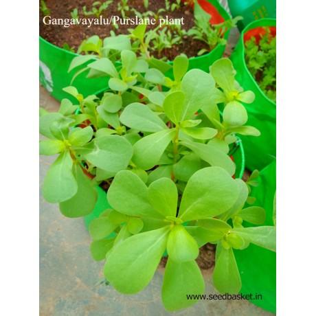 Gangavalli/Purslane leaves(800 seeds)