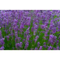 Herb Lavender (50 seeds)