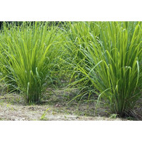 Lemon Grass (100 Seeds)