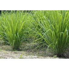 Lemon Grass (100 Seeds)
