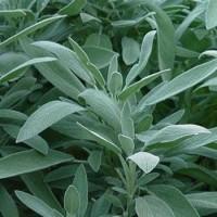 Herb Sage (50 Seeds)