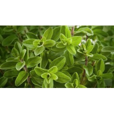 Herb Oregano (50 Seeds)