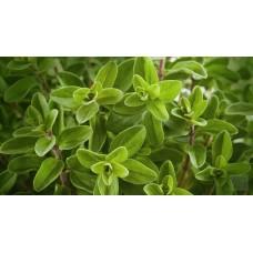 Herb Sweet Marjoram(50 Seeds)