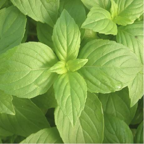 Herb Lemon Basil (50 Seeds)